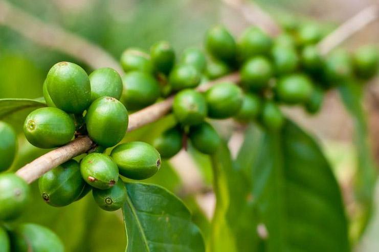 Grüner Rohkaffee