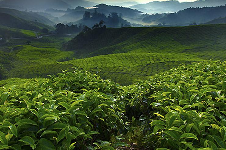 Rohkaffee Anbaugebiete