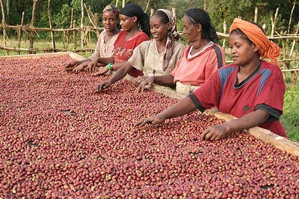 aethiopischer_kaffee_kaffeekirschen_sortieren