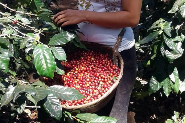 kaffeeanbau_im_klimawandel